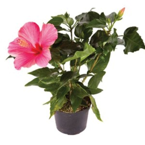 Hibiscus Plant Delivery Charlottetown Stratford And Cornwall