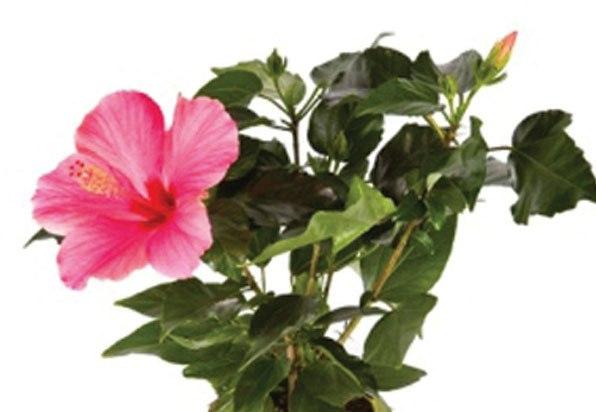 hibiscus plant - Copy